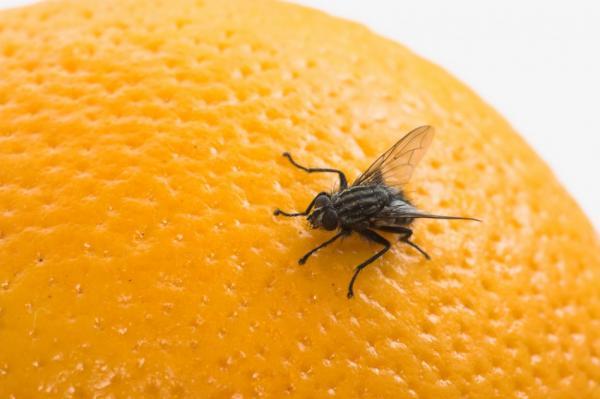 Tempo chuvoso é propicio a maior contaminação por virose da mosca